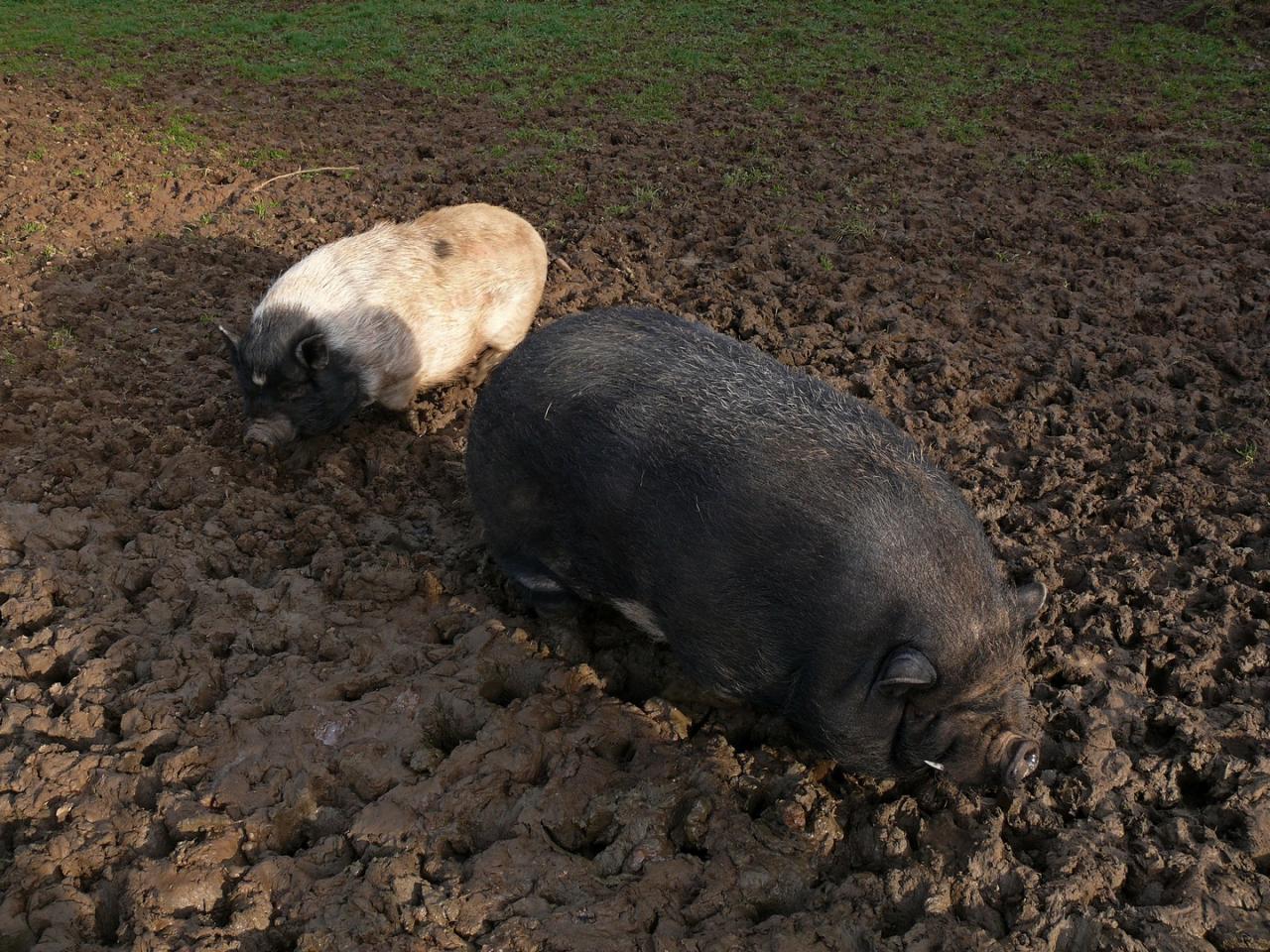 Alleez, fais pas ta tête de cochon!