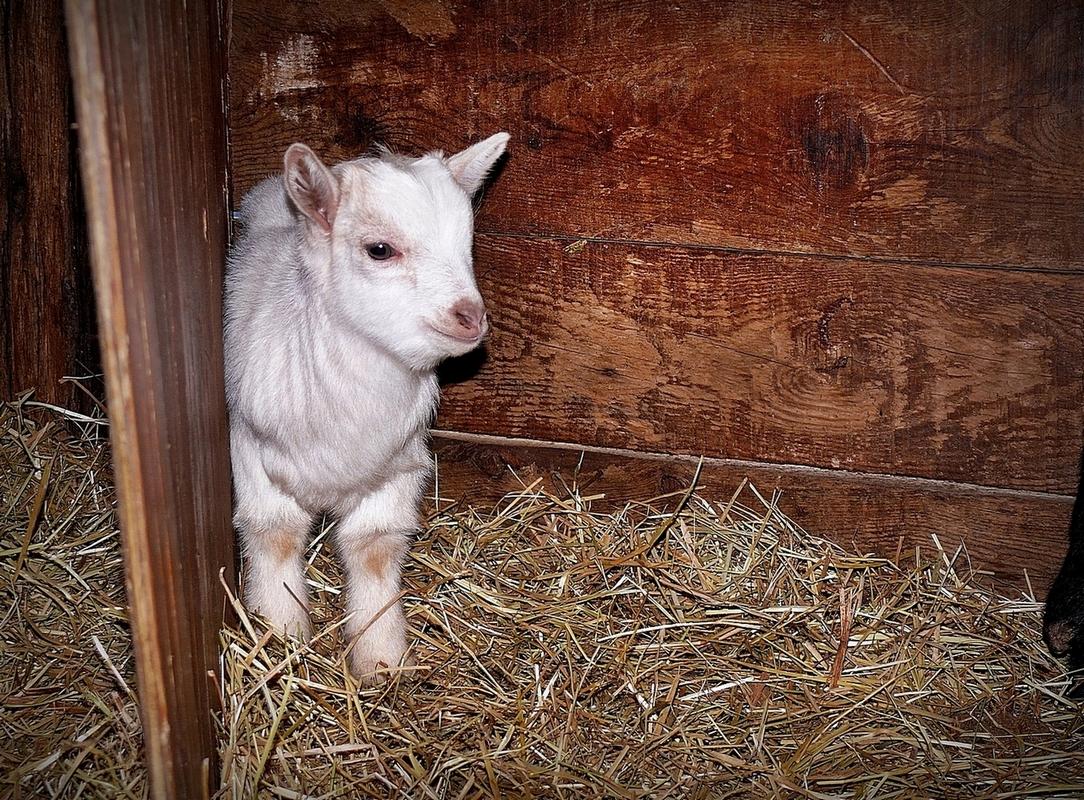 Blanchette, la petite chèvre de Monsieur Vilaine