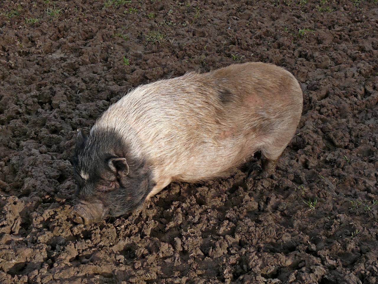 cochon d'Asie...ne pas confondre avec son cousin le cochon d'Inde...un peu plus petit!
