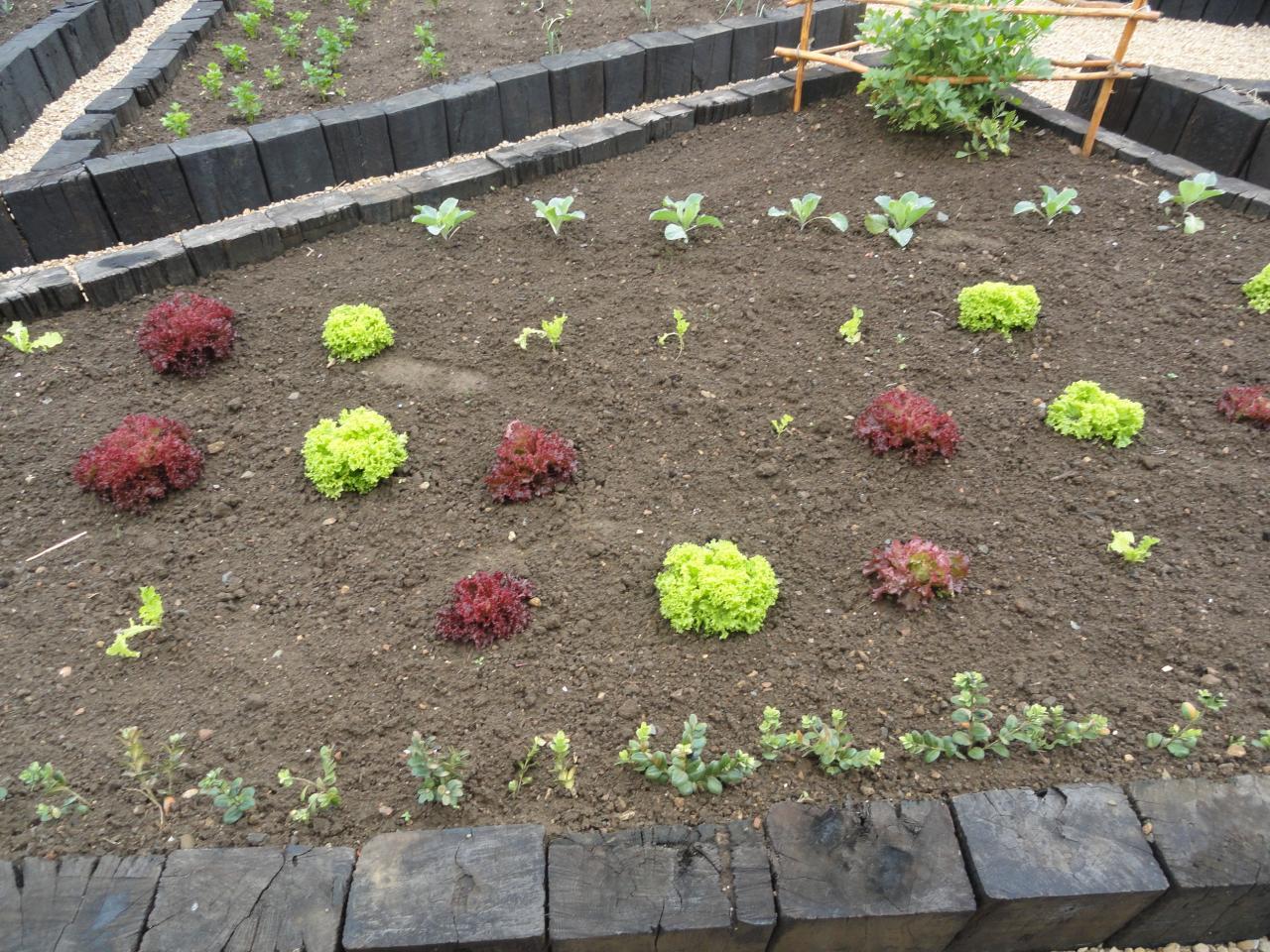 salades du potager juin 2012