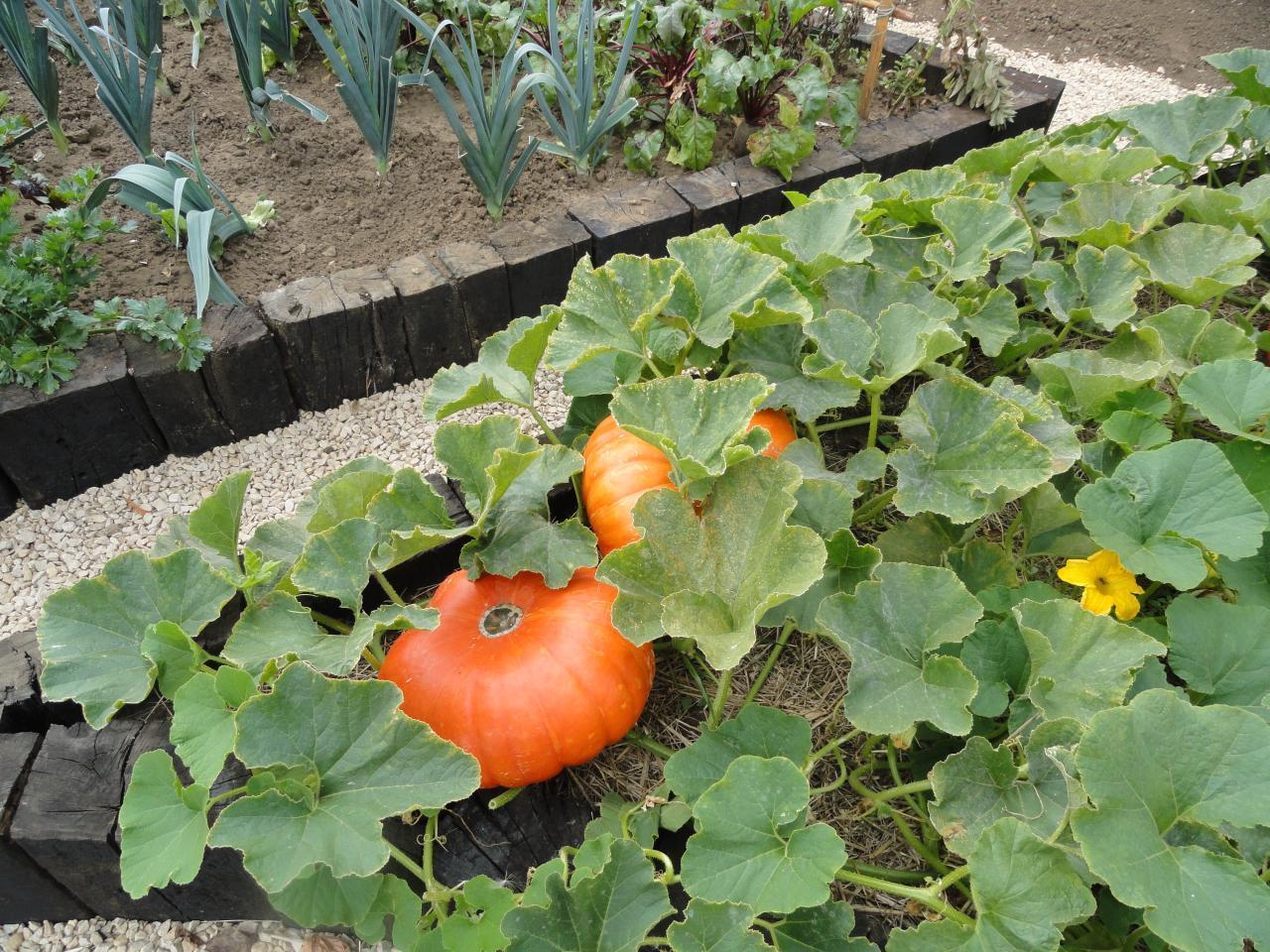 potirons de l'hortus août 2012
