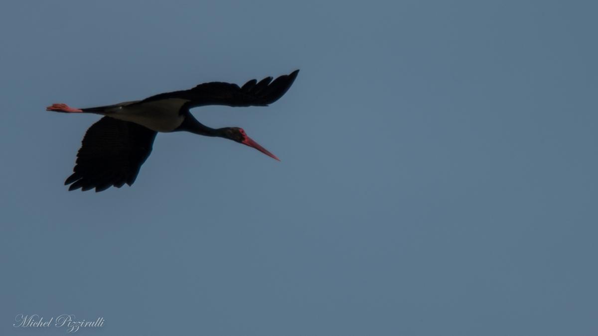 Cigogne noire au dessus de la mare