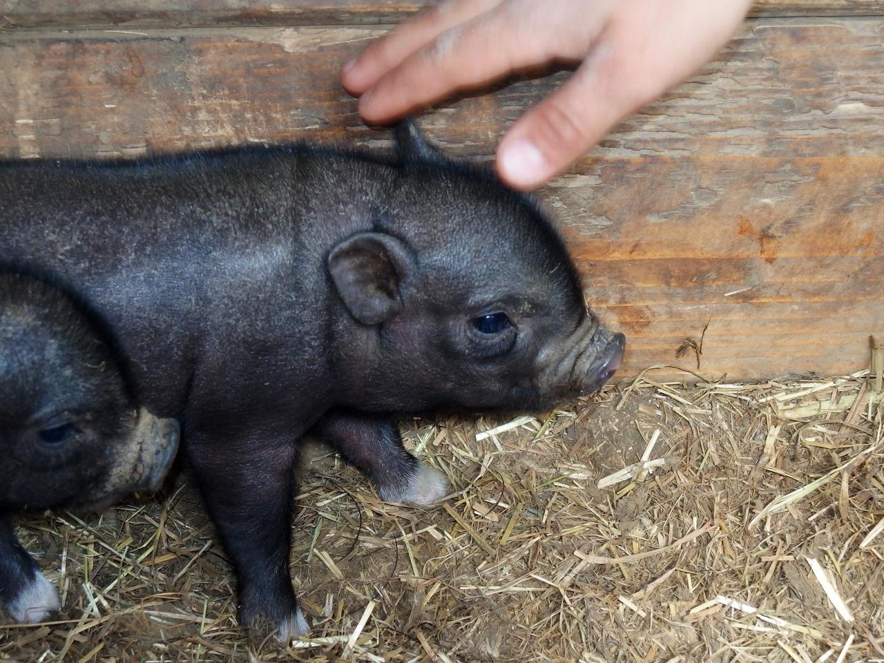 petit cochon deviendra gras....