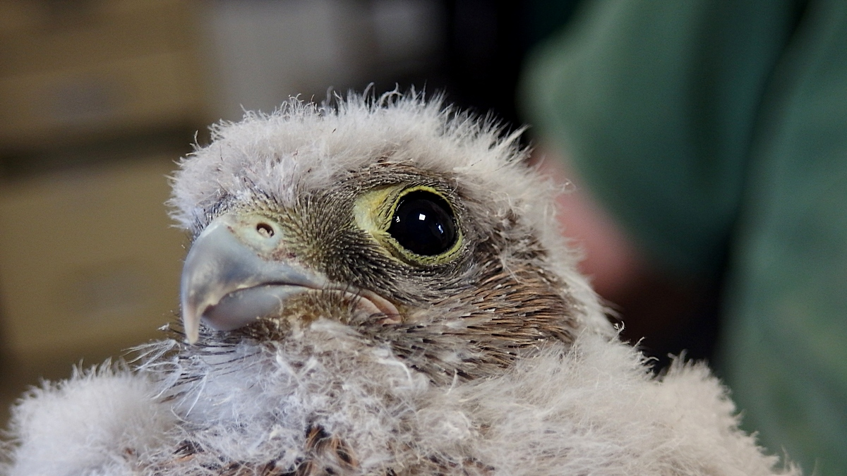 un très jeune faucon crécerelle