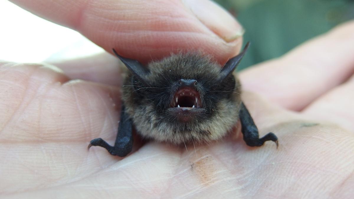 Pipistrelle apportée au Centre samedi matin